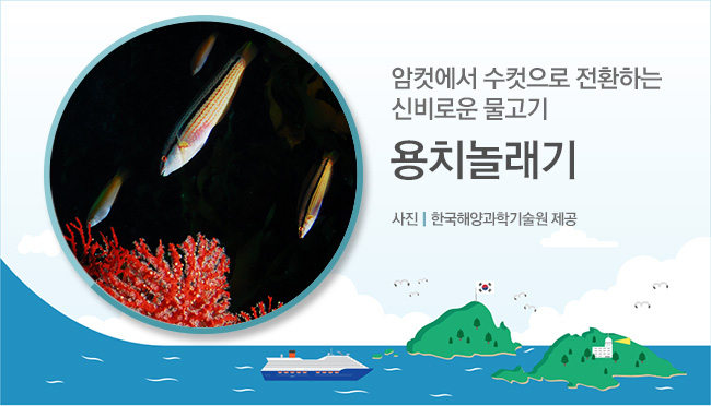 암컷에서 수컷으로 전환하는 신비로운 물고기 용치놀래기 사진 | 한국해양과학기술원 제공